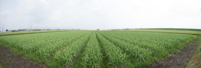 化学肥料とひまわり